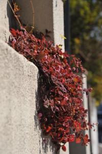 Nikon Digital Camera D700 紅葉のヒメツルソバ ※別名:ポリゴナム ヒマラヤ原生の植物ですがいたるところで野生化しているのを見かけますね♪ ほふく性で地を這うようにして広がり、ほぼ一年中咲くようです☆ 画像の固体は枝垂れるようにして生えていて、燃えるような紅葉もあわせて非常に目立っておりました(^^)