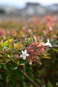 Nikon Digital Camera 初秋のアベリア=しょしゅうのあべりあ ※植栽として人気の植物=アベリア☆ ほぼ四季咲きの性質があり、根付けばたいへん丈夫です。しかもお花には芳香もあります♪ 見かけたら香りも楽しんでみてください~(^^)
