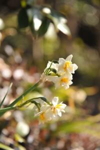 Nikon Digital Camera 八重咲きの日本水仙=やえざきのにほんすいせん