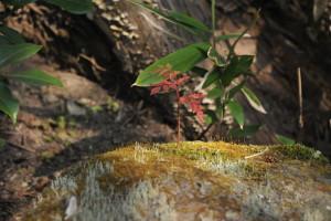 Nikon Digital Camera D700 ナナカマドの幼木 ※本来なら落葉している1月の寒い季節に元気に芽を出している子でした☆ ナナカマドは燃えにくく、そして七回カマドに入れても炭にならない(燃えない)ことから名前の由来があるそうです。