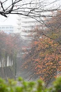 Nikon Digital Camera 神田川の紅葉=かんだがわのこうよう ※世界的にも美しいといわれる日本の紅葉 その紅葉の美しさには条件があるそうです☆ ①気温差→昼夜の温度差が15℃以上あること。最低気温が8℃以下になると色づきはじめ、5~6℃で一気に色が変化してくるそうです。 ②日照時間→夏から秋にかけての日の当たる時間が長いと、鮮やかな紅葉になるとか ③適度な湿度→乾燥しすぎると葉が枯れてしまいます。適度な湿度があるとキレイに紅葉するまで形をとどめて残るのです☆ 以上、紅葉の3大条件でした~♪ 余談ですが・・・ 都会で紅葉が鮮やかに感じないのは、 ①路面からの照り返しなどのヒートアイランド現象で、気温差が少ない ②遠くが見通せるほど空気が澄んでいる=乾燥している=紅葉する葉にはよろしくない ③排気ガス、ホコリ、ビル影などの人工物などで日照に影響がある ・・・などが考えられます。 川沿いの紅葉が美しく見えるのは、3大条件に当てはまる部分が大きいからなのでしょうね、きっと(^^)
