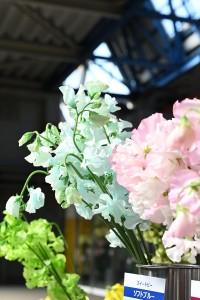 スイートピーちゃんの「切花」は、主に日本とイタリアでした流通していないそうです!?(農文協:花の小事典より)日本では一般的な切花の品種ですので、驚きですよね(^^; そして原種のスイートピーは力強く濃厚な芳香がするそうです。切花で流通している品種としては「スイートスノー」「スイートピンク」の2種類のみが出回っているそうです。