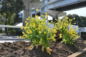 Nikon Digital Camera 枝分かれの菜の花 ※大田市場近くの路上で育てられているナノハナちゃん☆ 春だけのお花だと思われがちですが、花期は意外と長いのです♪このように枝分かれしてボリュームたっぷりに咲き続けてくれます。しかもたいへん丈夫です(^^) 苗の出回り時期は11月頃から花市場に出荷されています~♪