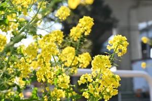 Nikon Digital Camera  輝く菜の花ちゃん