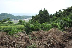 Nikon Digital Camera D700 高台の耕作放棄地=たかだいのこうさくほうきち ※茶畑です。美味しい茶葉が育つ3大条件①適度な湿度(海風)②水はけの良い土質③温暖な気候(背面は林になっている高台により好適)がそろっていそうに見えるのに残念に感じました。