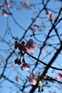 Nikon Digital Camera 朝の河津桜=あさのかわづざくら