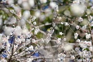 Nikon Digital Camera 白梅と目白=はくばいとめじろ ※早春のひだまりで、甘い梅の香りがあたり一面に☆メジロが飛んでくる気持ちがよくよく理解できました♪