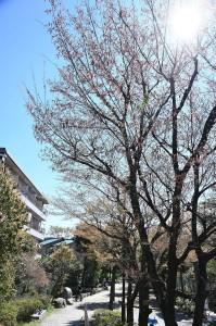 Nikon Digital Camera  赤四手=あかしで ※春に若葉とともに花が咲きます☆ 別名がソロノキ、シデノキなどがあります カバノキ科クマシデ属の落葉広葉高木です