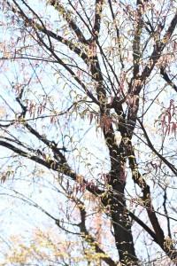 アカシデの木 花も葉も赤になるので、全体が赤っぽく見えるのも特徴です☆ 北海道~九州まで分布しています