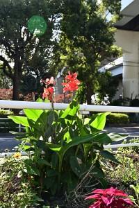 Nikon Digital Camera 秋咲きのカンナ