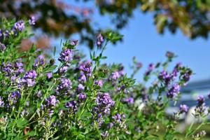 Nikon Digital Camera 紫馬肥し=むらさきうまごやし ※自然界には青系のお花は少ないといわれています。 以上の理由からか、青い花は常に問い合わせが多く、たいへん人気です。 こちらの品種は都会ではほぼ栽培されていないと思いますが、撮影は都内です(^^; 雑草化しておりました☆