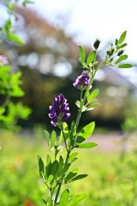Nikon Digital Camera 晩秋の紫馬肥し=ばんしゅうのむらさきうまごやし ※マメ科ウマゴヤシ属の多年草。中央アジア原生。 日本には明治期に導入されたそうです。 干害に強く、根が5-10mも伸びるそうです(^^;