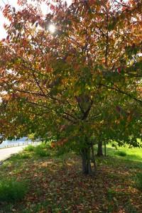 Nikon Digital Camera 桜の冬支度=さくらのふゆじたく ※色づきの秋☆ 冬に向けて準備の様子ですね(^^) カラっと晴れたこの気候と紅葉を肌で感じると、 なんだか心が躍るように思いですね♪