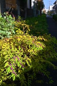 Nikon Digital Camera 晩秋の小紫式部=ばんしゅうのこむらさきしきぶ