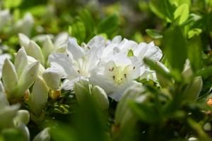 Nikon Digital Camera 白つつじ ※豊島区 南大塚の桜並木の植栽の白つつじ君☆ 朝日に輝いておりました(^^)