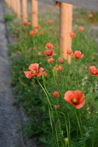 Nikon Digital Camera  長実雛芥子=ながみひなげし ※春先に見かけるオレンジ色の雑草君です☆繁殖力が強く、いたる所で見かけるお花です
