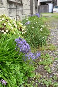 Nikon Digital Camera シラー ベルビアナ☆ ※青い花の子です。 地中海原生の非常に丈夫なユリ科の多年草品種。  半ば雑草化いる様子でした(^^;