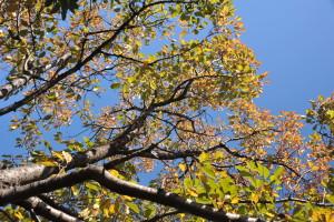 Nikon Digital Camera D700 晩秋の紅葉=ばんしゅうのこうよう ※サクラの木です。 花業界唯一のシンクタンク「大田花き花の生活研究所」さんのブログによると、紅葉の説明は以下のようになります☆ 紅葉(黄葉)する理由は、春夏に葉が蓄えてきた栄養を木に渡しているのです。紅葉が鮮やかなのは、樹木が健康で栄養源の受け渡しがうまくっている証拠なのだそうです。 ご参考までにサイトをご覧くださいませ♪ http://www.otalab.co.jp/blogs/24178