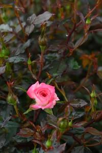 Nikon Digital Camera 鮮やかすぎる一輪の薔薇