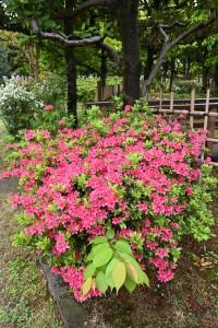 Nikon Digital Camera  ツツジ ※華やかで美しいツツジのお花は鑑賞期間の限られる季節の花木です。 儚いかわりに見事に咲くような気もしてきますね(^^;