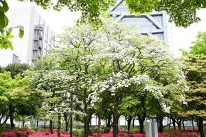 Nikon Digital Camera  大都会のハナミズキ