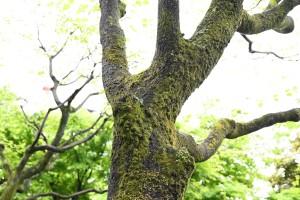 Nikon Digital Camera ハナミズキの幹 ※幹にびっしりと付いた苔が貫禄をかんじさせますね☆ 近くに人工池があるので、ハナミズキちゃんたちのお肌にも良さそうな気がしますね♪