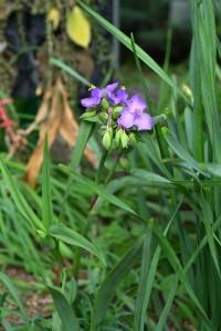 Nikon Digital Camera 紫露草=むらさきつゆくさ ※青系のお花の咲く品種です☆ ツユクサ科ムラサキツユクサ(トラデスカンチア)属の多年草。 初心者にも育てやすいです。 詳しくは趣味の園芸さんのサイトをご覧くださいませ♪ 品種も数種類あったりして新発見があるかもです。