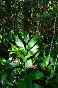 Nikon Digital Camera 陽だまりの青野熊竹蘭=ひだまりのあおのくまたけらん ※ショウガ科の植物です☆アオノクマタケランという呪文のような名前の品種です。