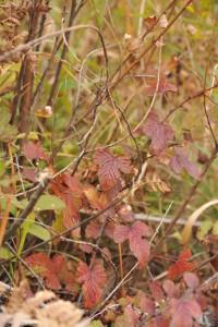 Nikon Digital Camera 紅葉のニガキイチゴ ※バラ科キイチゴ属の落葉広葉低木。 4-5月頃に白花を咲かせ、5-6月頃に赤く実らせます(甘いが苦味もあるそうです)☆ゴガツイチゴtという別名も納得ですね。 そして秋が深まると紅葉をも楽しませてくれるという素敵品種です。大きくても1㍍くらいにしかならないですが、ぜひとも野山で見つけてみたいですよね(^^)<葉のカタチが特徴です!