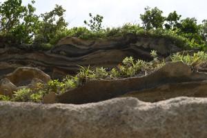 Nikon Digital Camera 地層に生える野生植物 ※何もない無人島などに植物が生える、主に要因は3つあると言われています☆ ①Wind=風に運ばれてくる ②Wing=鳥さんに運ばれてくる ③Wave=波に力で運ばれてくる ・・・以上の3Wが岩だけの場所をより豊かにしてくれるのですね。研究者さんに拍手!ですね(^^)