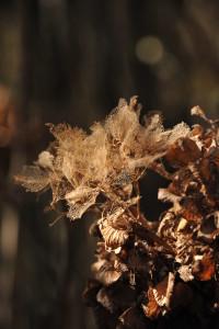 Nikon Digital Camera D700 天然アジサイのドライフラワー ※花の繊維がしっかりと残った状態のアジサイさんです☆海沿いの風が一年中吹き付けるような林の中におりました。色の着いた時期のあじさいに見慣れているので、思わず見とれてしまいますね~(^^)