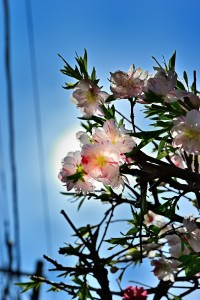 Nikon Digital Camera 桃の花=もものはな