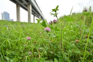 Nikon Digital Camera ムラサキツメクサと首都高 ※マメ科シャジクソウ属☆花の咲く期間は5-8月頃とされています。よく見る雑草ちゃんです。