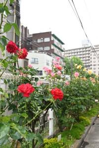 今年も南大塚 都電沿線のバラも咲き始めて、見ごろになっております☆ こんな状況なので、バラ祭りは中止となりましたが、通りかかった際はその姿や芳香を味わってみたいものですね♪