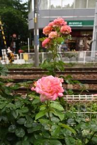 Nikon Digital Camera 旬の薔薇=しゅんのばら