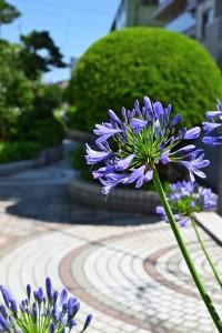 Nikon Digital Camera アガパンサス=紫君子蘭 ※南アフリカ原生の多年草☆植えっぱなしでも毎年よく咲いてくれるので、植栽に人気の品種です(^^) 趣味の園芸さんのページに詳しく書いてありましたので、ご興味ある方はこちらからどうぞ♪ https://www.shuminoengei.jp/m-pc/a-page_p_detail/target_plant_code-34