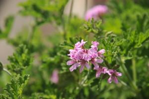 Nikon Digital Camera D700 ローズゼラニウム☆ ※常緑で丈夫なローズゼラニウムは育てやすくて人気の植物です☆日当たり~半日陰で育つ多年草の品種。名前の通り、茎と葉は芳香があります!ご家庭にひと鉢置いて気分転換などにいかがでしょう~(^^)/