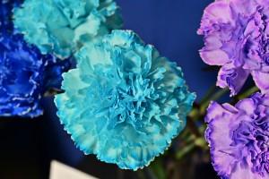 Nikon Digital Camera 染め輪カーネーション ※自然界には少ないといわれる青系のお花☆ 加工すれば手軽に楽しめます♪