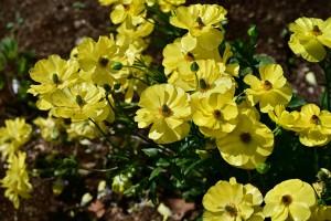 Nikon Digital Camera ラナンキュラス=らなんきゅらす ※キンポウゲ科の植物です☆可愛らしい花姿が多くの方から支持されているお花☆ ベントネックしなければ、長持ちしてくれるので店頭での需要は強くかんじます(^^) 「絶対にベントネックしない!」という品種がジャパンフラワーセレクションを受賞してほしいなーと空想しつつも願っております♪