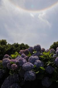 Nikon Digital Camera D700 日暈と紫陽花=にちうんとあじさい ※あじさいを鑑賞していて、ふと見上げると太陽の周りにリング状の光が!?早速調べてみるとハロとか日暈とか呼ばれる気象現象でした☆
