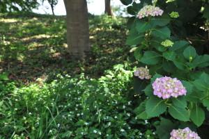 Nikon Digital Camera D700 木陰の桃色アジサイとツユクサ畑☆