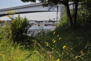 Nikon Digital Camera D700 公園の豚菜=こうえんのぶたな ※この季節に咲いている茎の長いタンポポによく似た植物です。別名:タンポポモドキというように両者は大変そっくりです。