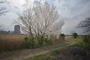 Nikon Digital Camera 川沿いの桜=かわぞいのさくら ※まわりの障害物が少なく、自由に生えている桜ちゃん☆