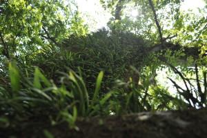 Nikon Digital Camera D700 サクラの大木とシダ植物 ※こちらのサクラの木は、すぐ近くに川が流れている傾斜地に生えておりました。そして、谷側(川のある方向)により多くのシダが着生していました!シダ君たちにとってその方角が生活しやすいのでしょうね(^^) さらに良くよく見ると、葉の周り(画面中央右)にサクラの実が見えます♪