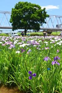 Nikon Digital Camera  晴天の花菖蒲畑