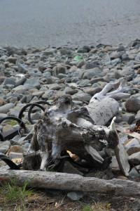 Nikon Digital Camera D700 流木の根っこからの図 ※浜に打ち上げられている漂流物のうちの流木。元もとの色が抜けて灰色になっていました。浜のゴロタ石と同じくなるよう保護色になったのでしょうか(冗談です)。 流木はやはり風格を感じさせますね~(^^)