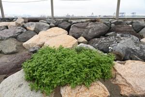 Nikon Digital Camera 梅雨のツルナと東京湾 ※ハマミズナ科ツルナ属の多年草。北海道~沖縄の太平洋側の砂地に生息します。6-9月に黄色っぽい花を咲かせます(^^)