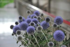 Nikon Digital Camera D700 ルリタマアザミ ※おもに6月~9月頃に出回るお花です☆花持ち剤を使うと、青い花弁が良く咲いてくれて楽しめます♪