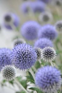 Nikon Digital Camera D700 瑠璃玉薊=るりたまあざみ ※太田市場の展示のお花です