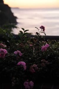 Nikon Digital Camera D700 東雲時の初夏のバラ=しののめときのしょかのばら